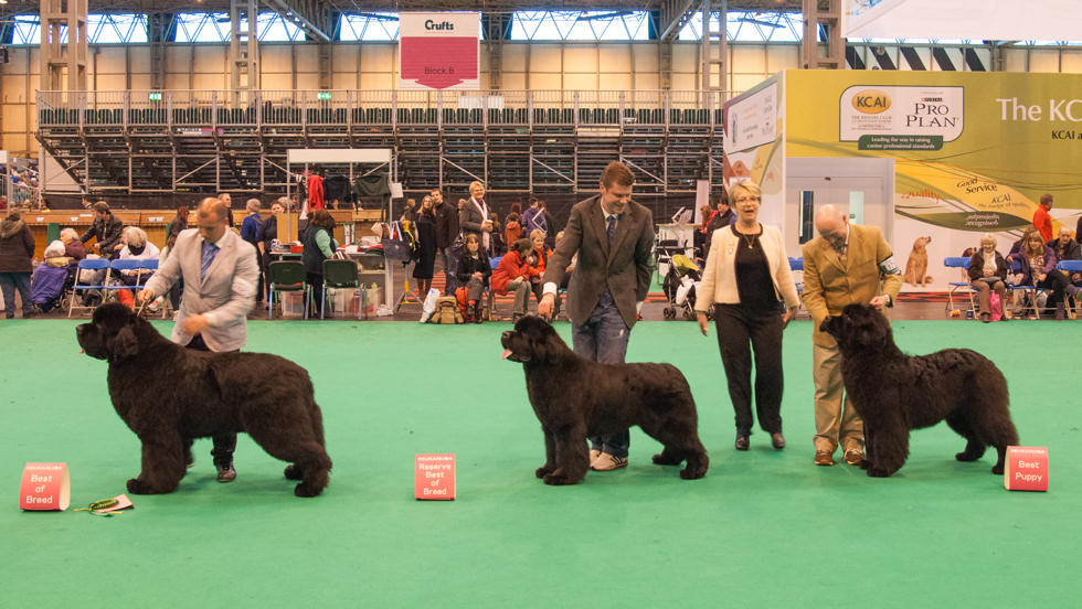 Newfoundand Winners line up at Crufts 2014.