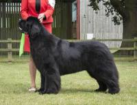 Top Winning Newfoundland 2016 - Ch. Sandbears Better Than Ever, JW
