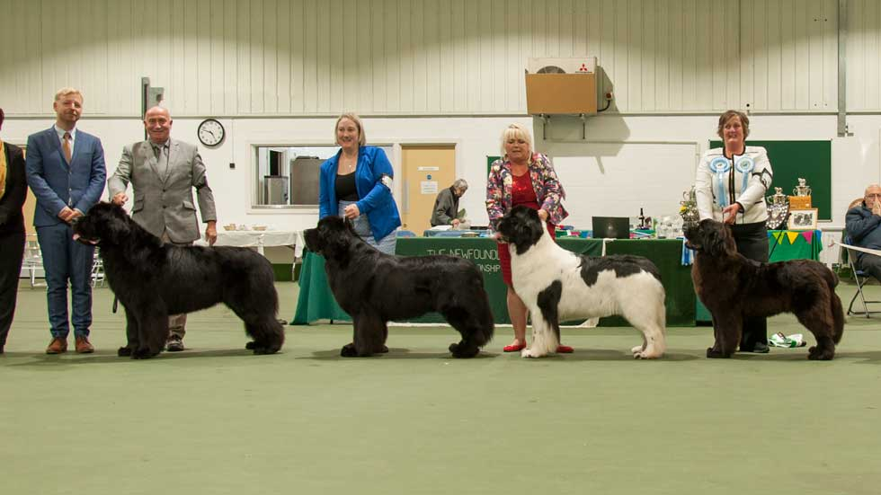 Newfoundland winners line-up from the Newfoundland Club Championship Show, October 2017