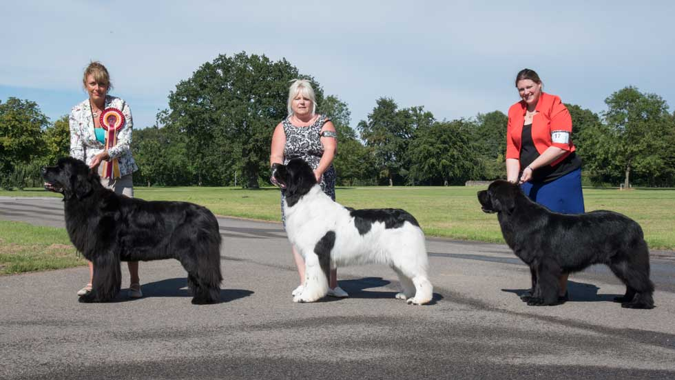 Newfoundland winners line-up from the Newfoundland Club Open Show, August 2017