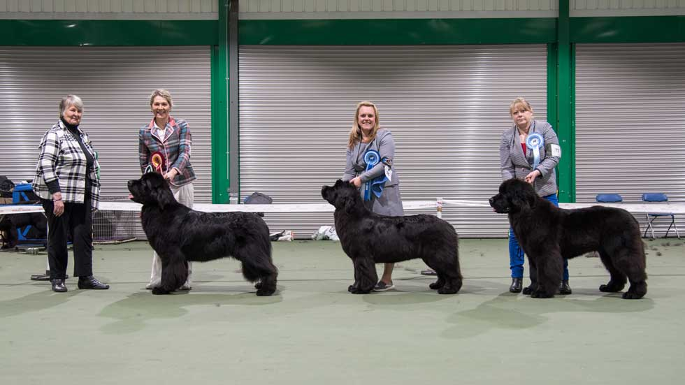 Newfoundland winners line-up from the Newfoundland Club Open Show, February 2017