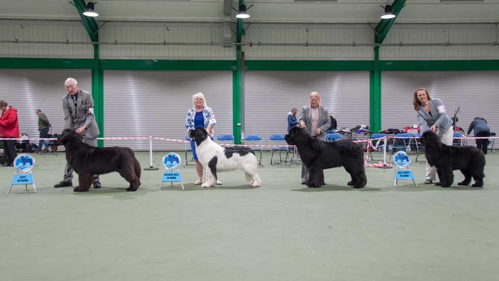 Newfoundland winners line-up from the Southern Newfoundland Club Championship Show, November 2017