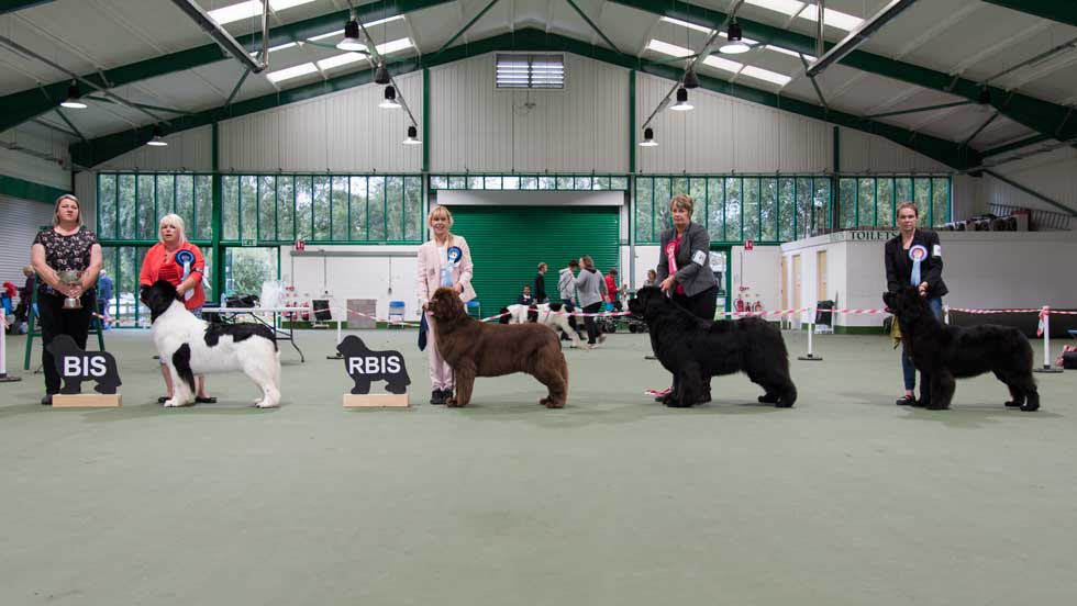Newfoundland winners line-up at the Southern Newfoundland Club Open Show, September 2017