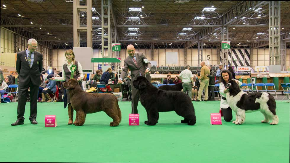 Newfoundland winners line-up at Crufts, March 2018