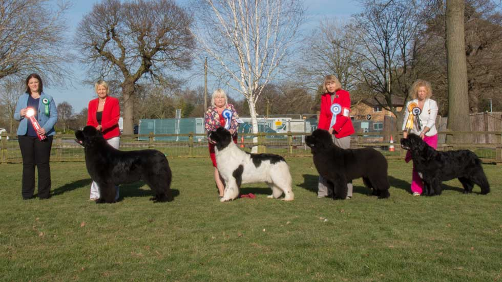 Newfoundland winners line-up from the Newfoundland Club Open Show, February 2018