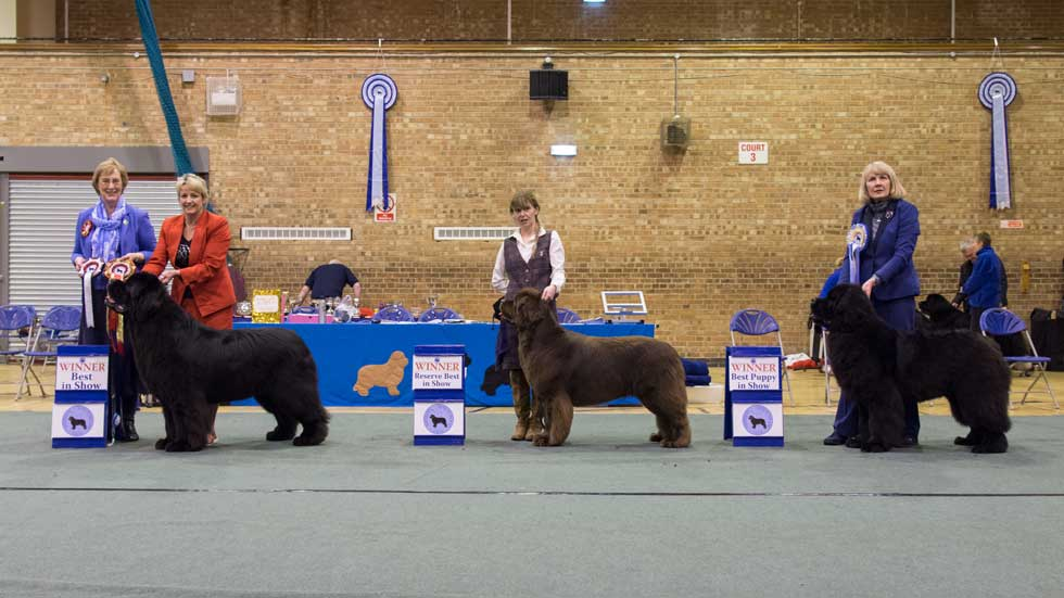 Newfoundland winners line-up from the Northern Newfoundland Club Championship Show, April 2018