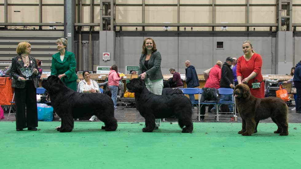 Newfoundland winners line-up at Crufts, March 2019