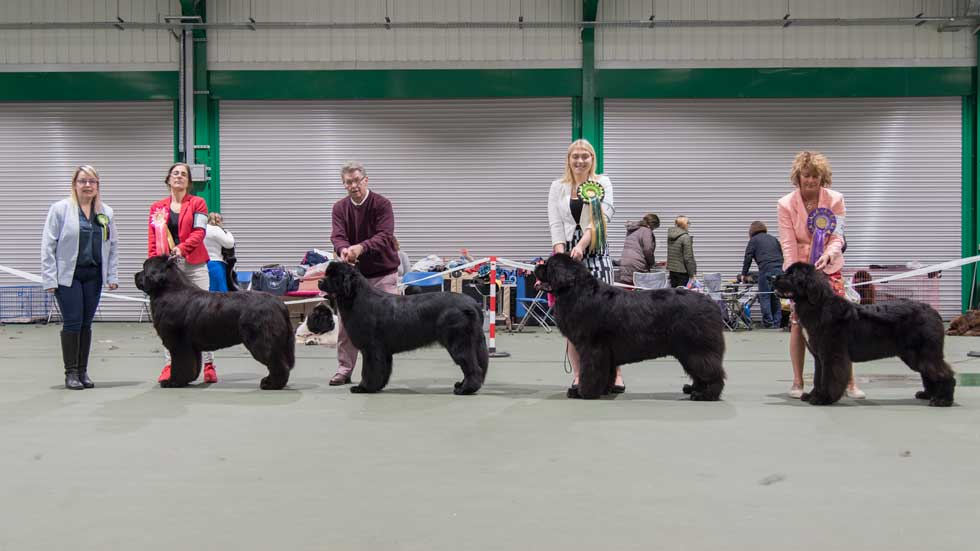Newfoundland winners line-up from the Newfoundland Club Championship Show, October 2019