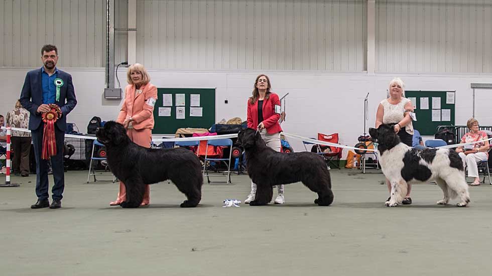 Newfoundland winners line-up from the Newfoundland Club Open Show, August 2019