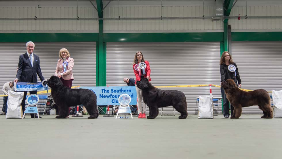 Newfoundland winners line-up from the Southern Newfoundland Club Championship Show, November 2019