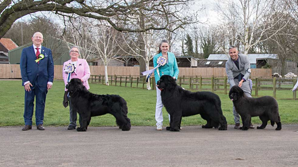Newfoundland winners line-up from the Newfoundland Club Open Show, February 2020