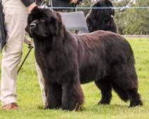 Ir. Ch., OSW KING OF HELLULAND MY QUEEN AT TITANBEARS, JW, ShCM, ShCEx